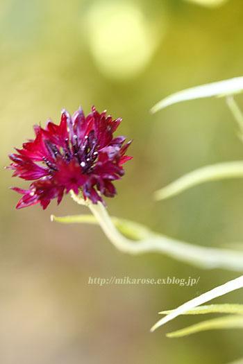庭の草花とのん気な母_a0264538_11411145.jpg