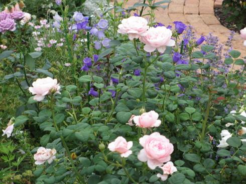 淡いピンク色のバラが目立ってきました_a0243064_11161886.jpg