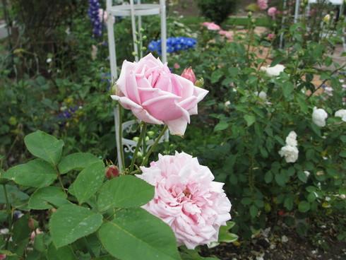 淡いピンク色のバラが目立ってきました_a0243064_11163425.jpg