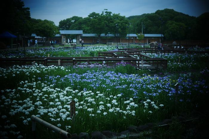 花菖蒲 2016 山田池公園 _f0021869_001248.jpg