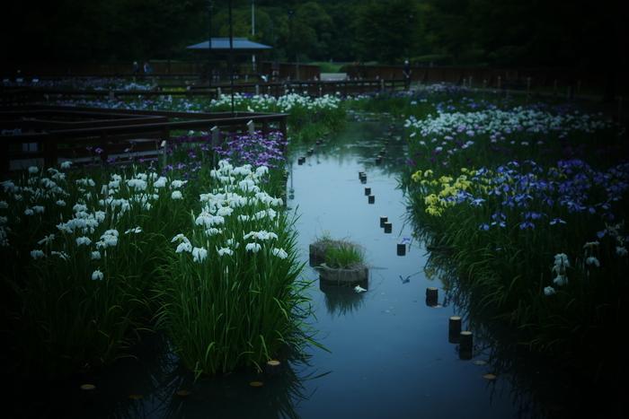 花菖蒲 2016 山田池公園 _f0021869_23571258.jpg