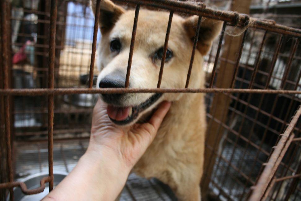 ブリーダー放棄の柴犬とラブたち(7/2-7/3)_f0242002_126212.jpg