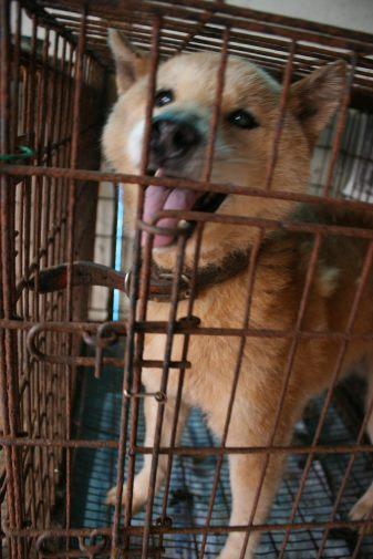 ブリーダー放棄の柴犬とラブたち(8/20)_f0242002_1293696.jpg