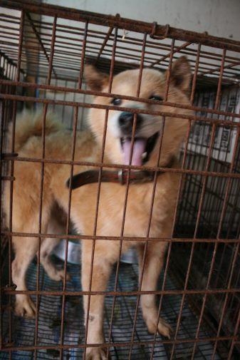 ブリーダー放棄の柴犬とラブたち(8/20)_f0242002_1294521.jpg