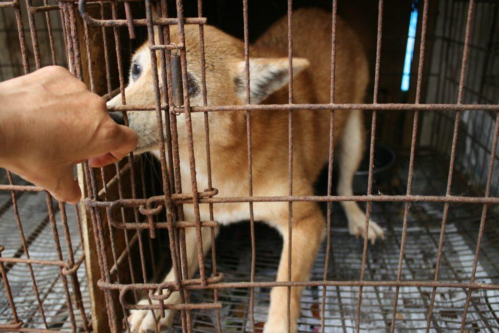 ブリーダー放棄の柴犬とラブたち(7/2-7/3)_f0242002_1332599.jpg