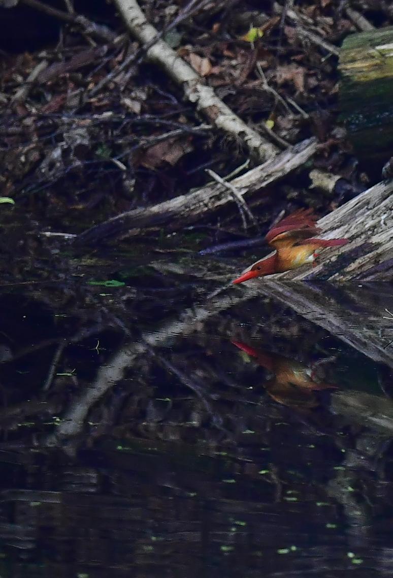 アカショウビン 水浴び→羽繕い_f0288418_6203586.jpg