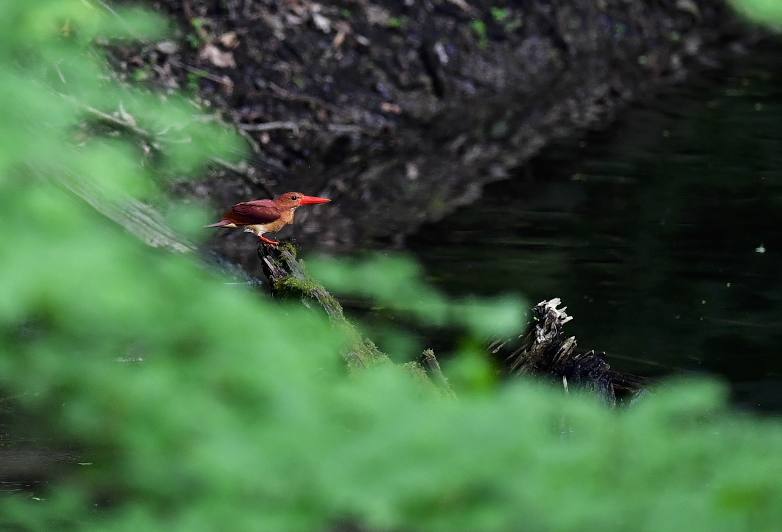 アカショウビン 水浴び→羽繕い_f0288418_6223490.jpg