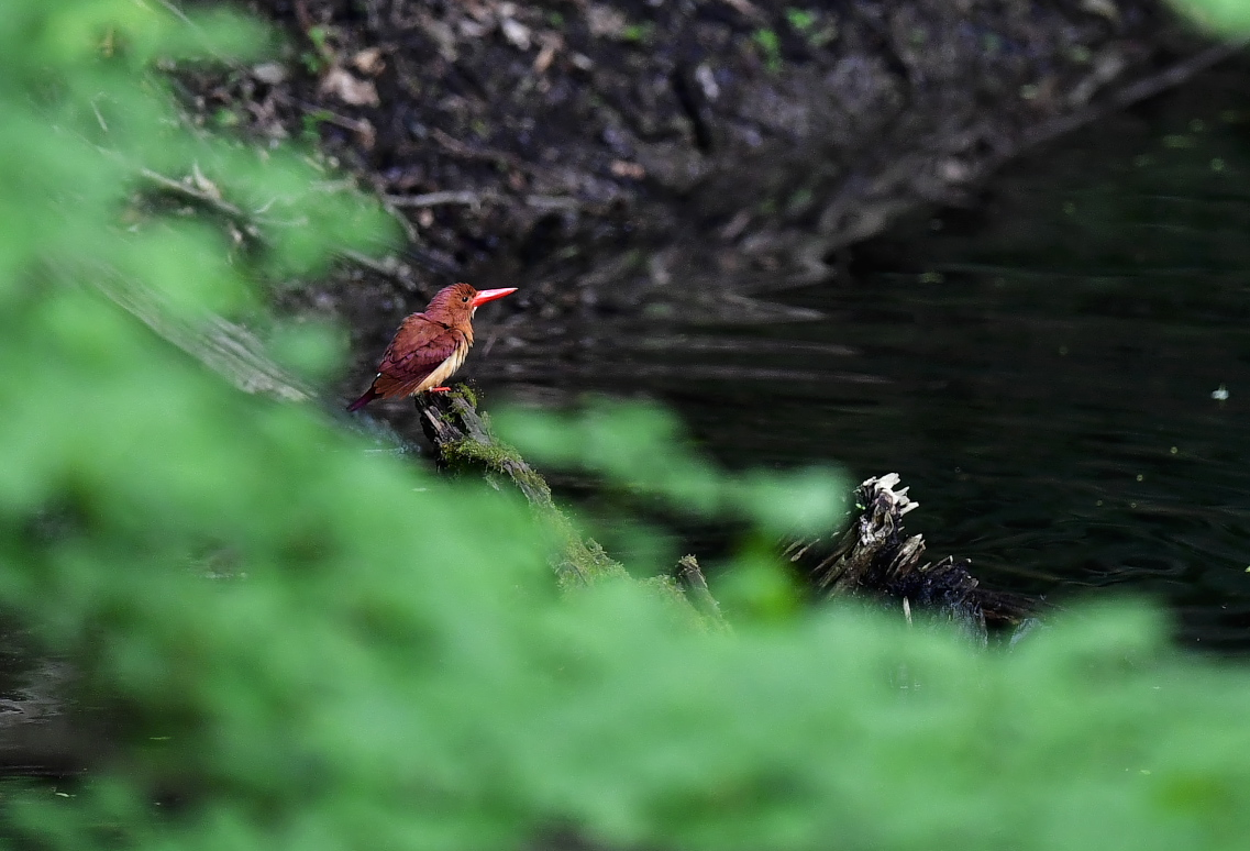 アカショウビン 水浴び→羽繕い_f0288418_6224231.jpg