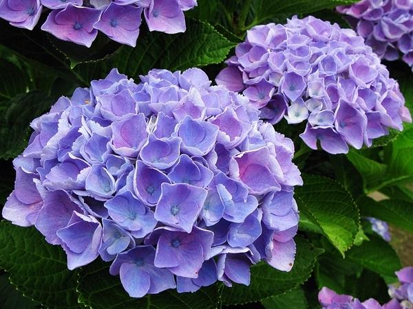 紫陽花 _f0129726_22034823.jpg