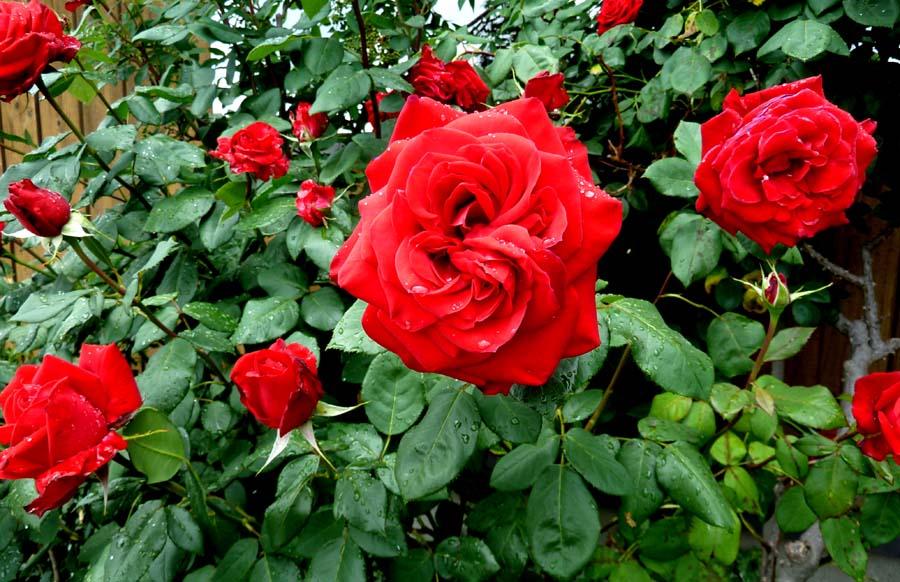 事務所の「薔薇」_f0150893_1891637.jpg