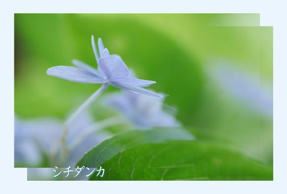 紫陽花撮影会_f0292335_23163713.jpg