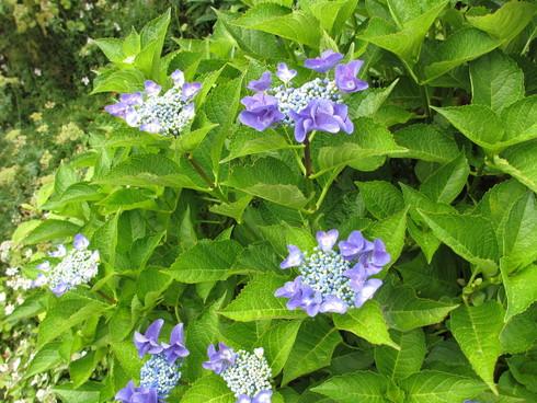 ユリ、ストケシア、ベロニカグレースも咲いています_a0243064_10141813.jpg