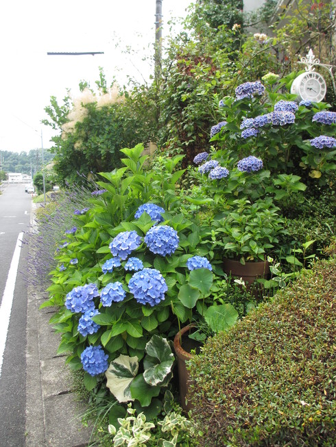 ユリ、ストケシア、ベロニカグレースも咲いています_a0243064_1014302.jpg