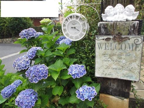 ユリ、ストケシア、ベロニカグレースも咲いています_a0243064_1014560.jpg