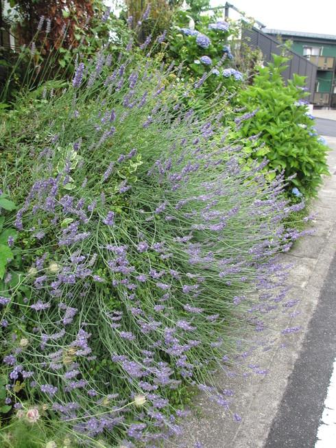 ユリ、ストケシア、ベロニカグレースも咲いています_a0243064_10151720.jpg