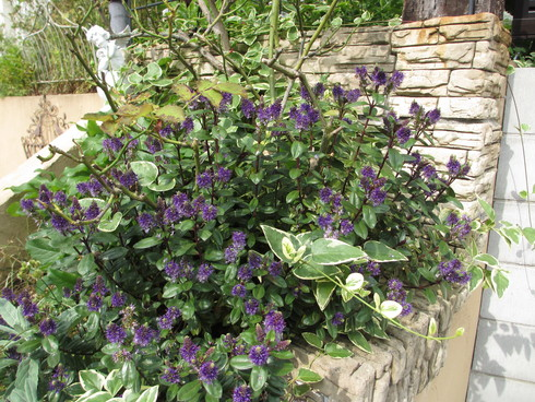 ユリ、ストケシア、ベロニカグレースも咲いています_a0243064_1016168.jpg