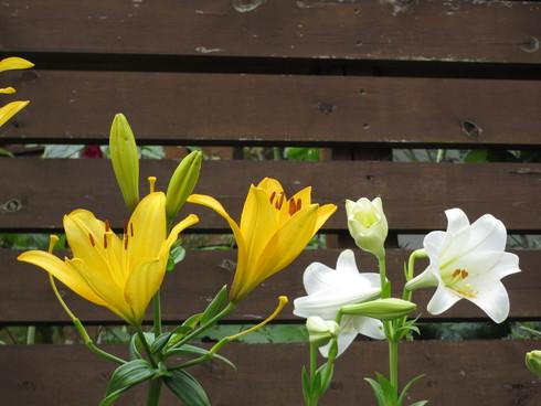 ユリ、ストケシア、ベロニカグレースも咲いています_a0243064_10426100.jpg