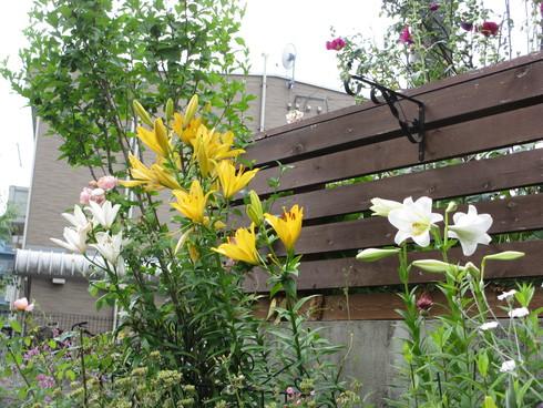 ユリ、ストケシア、ベロニカグレースも咲いています_a0243064_104294.jpg