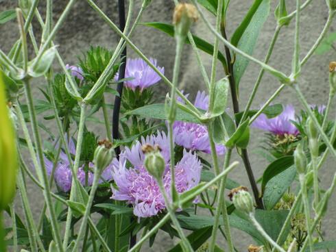 ユリ、ストケシア、ベロニカグレースも咲いています_a0243064_106051.jpg