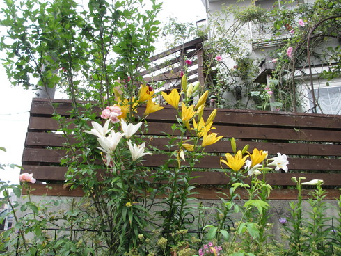 ユリ、ストケシア、ベロニカグレースも咲いています_a0243064_9545660.jpg
