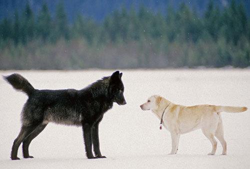 ロミオと呼ばれたオオカミ_f0233665_19233878.jpg