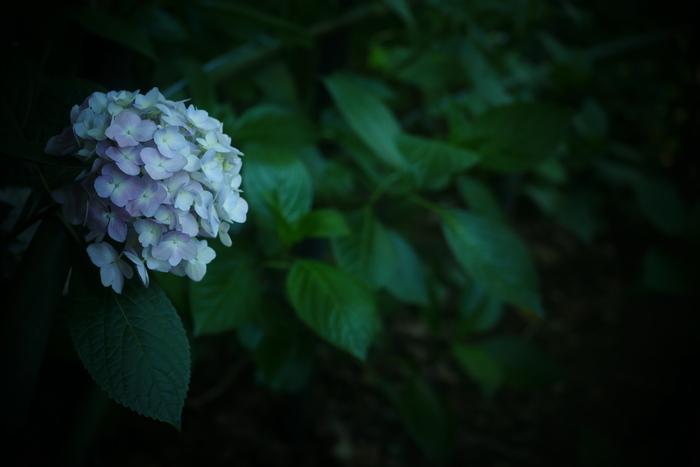 紫陽花 2016 藤森神社 _f0021869_23502349.jpg