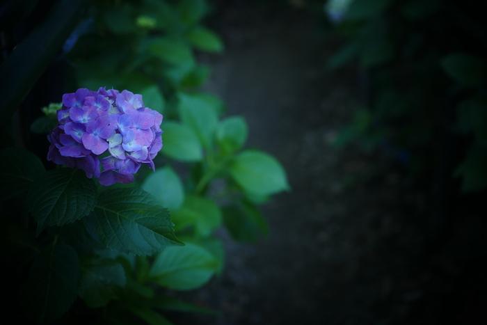 紫陽花 2016 藤森神社 _f0021869_2350535.jpg