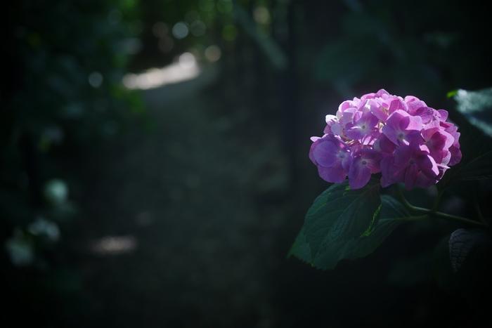 紫陽花 2016 藤森神社 _f0021869_2351302.jpg