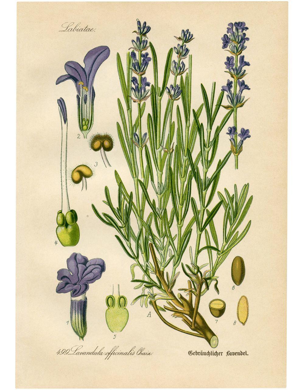 雨降りなのでネット美術館で古い植物画鑑賞_c0025115_22280240.jpg