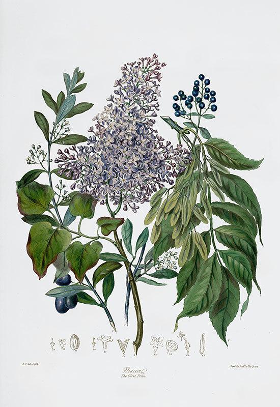 雨降りなのでネット美術館で古い植物画鑑賞_c0025115_22290865.jpg