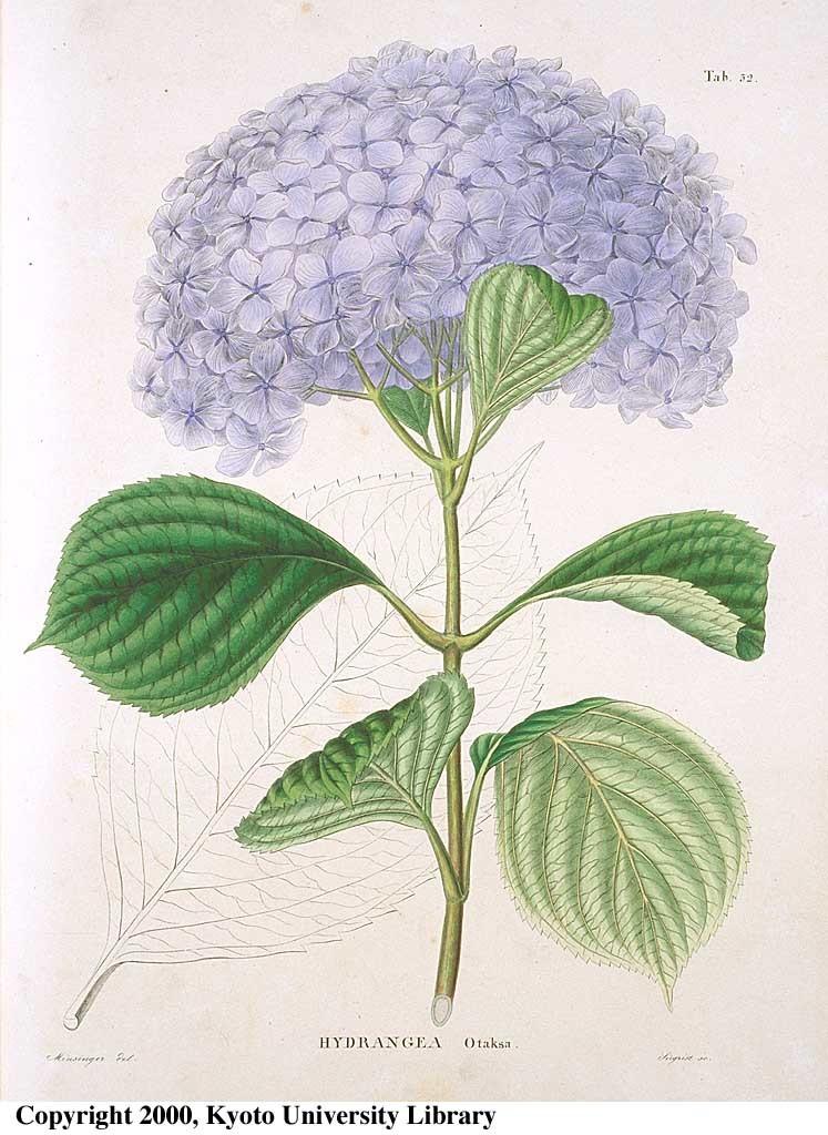 雨降りなのでネット美術館で古い植物画鑑賞_c0025115_22310259.jpg