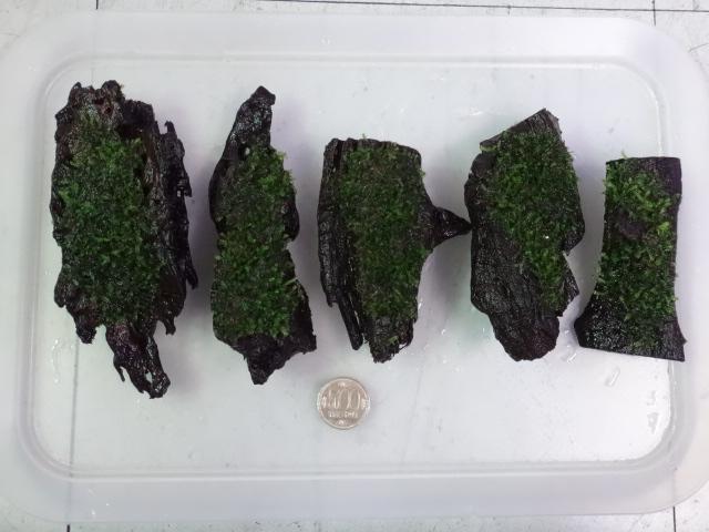 160616 熱帯魚・水草・観葉植物_f0189122_1458412.jpg