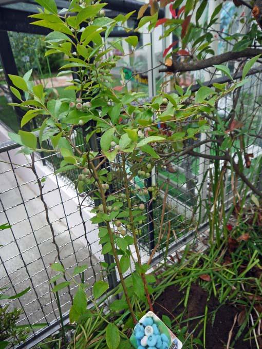 自宅の庭にラビットアイ系のティフブルー追加6・16_c0014967_1985396.jpg