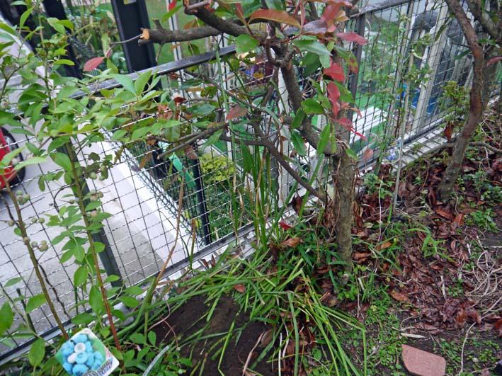 自宅の庭にラビットアイ系のティフブルー追加6・16_c0014967_1991317.jpg