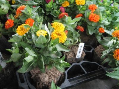 ガーデンふ頭総合案内所前花壇の植替えH28.6.15_d0338682_11304851.jpg