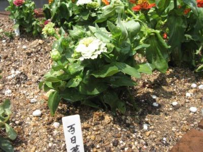 ガーデンふ頭総合案内所前花壇の植替えH28.6.15_d0338682_11324712.jpg
