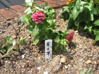 ガーデンふ頭総合案内所前花壇の植替えH28.6.15_d0338682_11340776.jpg