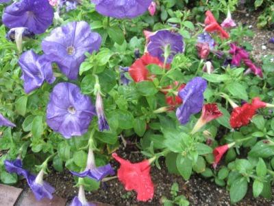 ガーデンふ頭総合案内所前花壇の植替えH28.6.15_d0338682_11360063.jpg