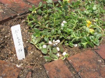 ガーデンふ頭総合案内所前花壇の植替えH28.6.15_d0338682_11410372.jpg