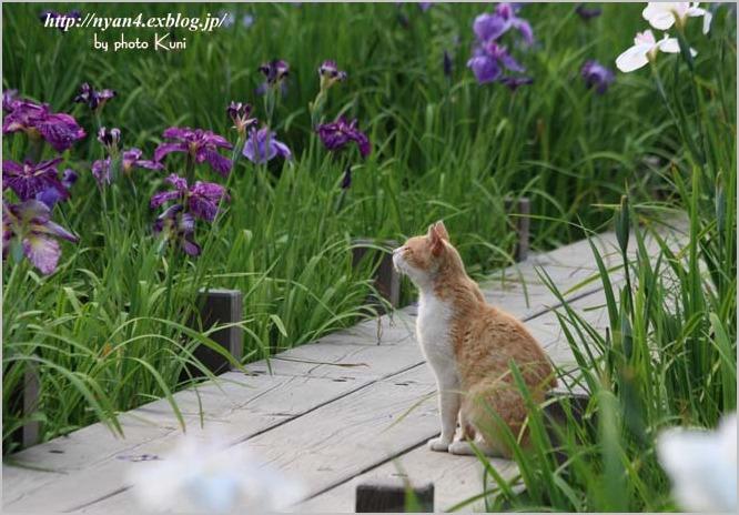菖蒲と猫_f0166234_302714.jpg