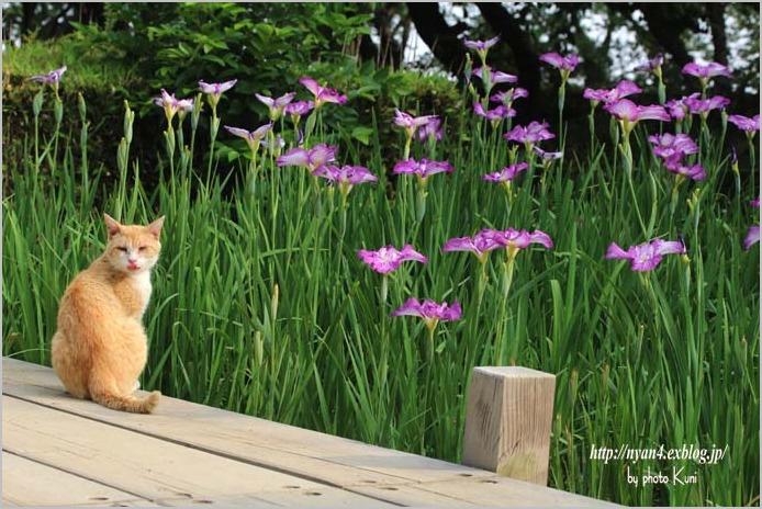 菖蒲と猫_f0166234_315143.jpg