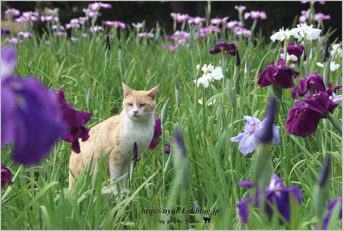 菖蒲と猫_f0166234_324085.jpg