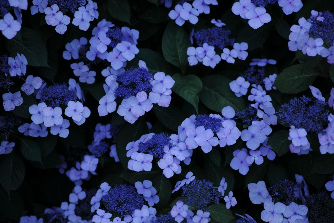紫の星たち_c0299360_23494231.jpg