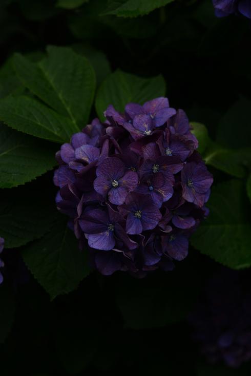 紫陽花_d0020296_22432756.jpg