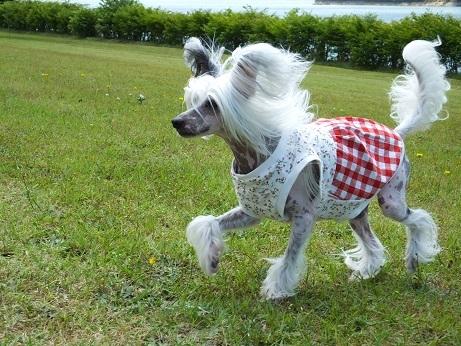 Resultado de imagen para Chinese Crested 犬 あくび