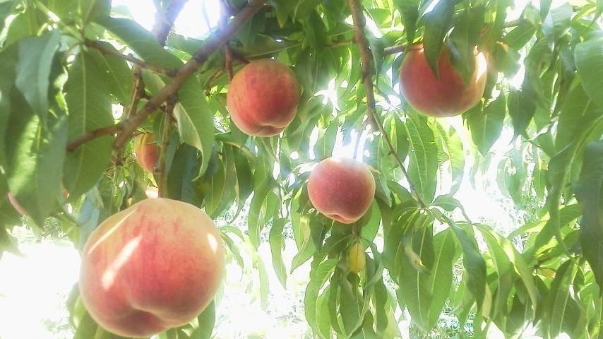 共選所稼働に合わせ 桃の品種を合わせる_f0325525_17474596.jpg