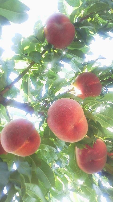 桃の輝き_f0325525_17480401.jpg