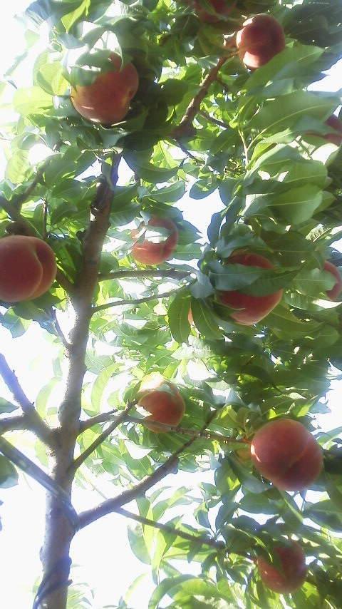 共選所稼働に合わせ 桃の品種を合わせる_f0325525_17482536.jpg