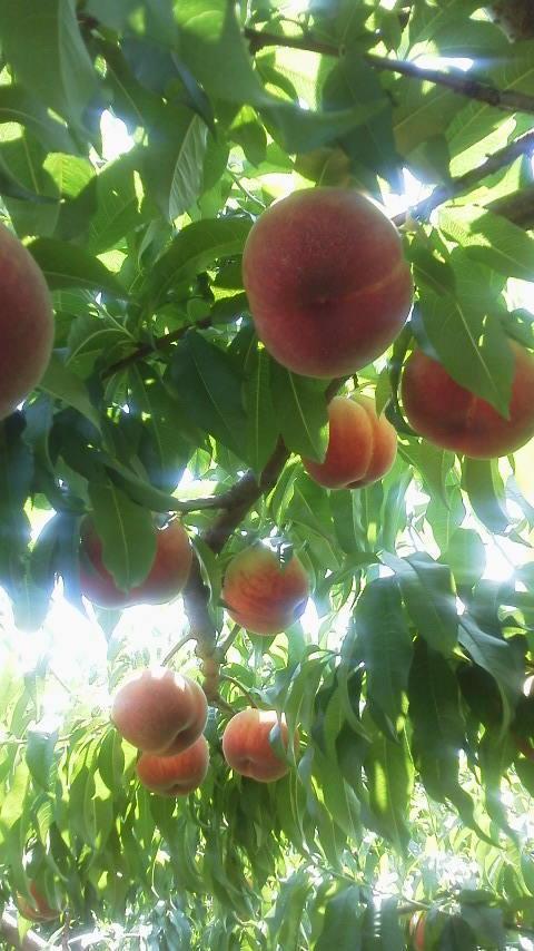 共選所稼働に合わせ 桃の品種を合わせる_f0325525_17495342.jpg