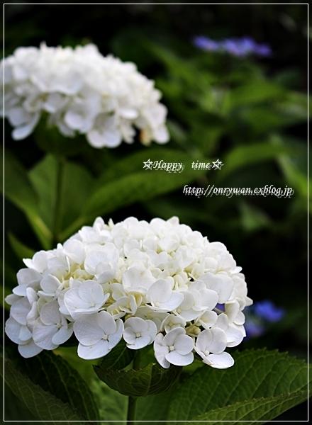 かにかまコロッケ弁当と紫陽花☆アナベル♪_f0348032_18252703.jpg